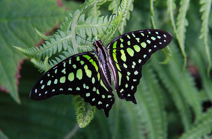 Butterfly, P.E.I.