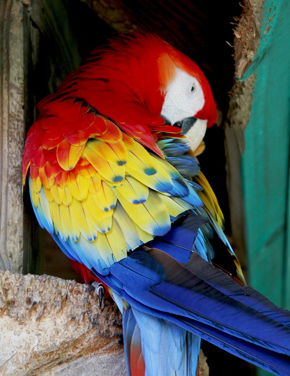 Parrot at Everglades City, Florida