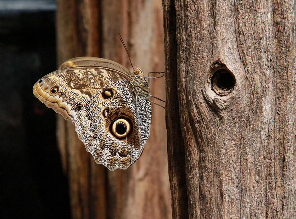 Owl Eye Butterfly, PEI