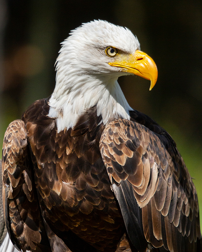 Bald Eagle, Parc Omega, Quebec
