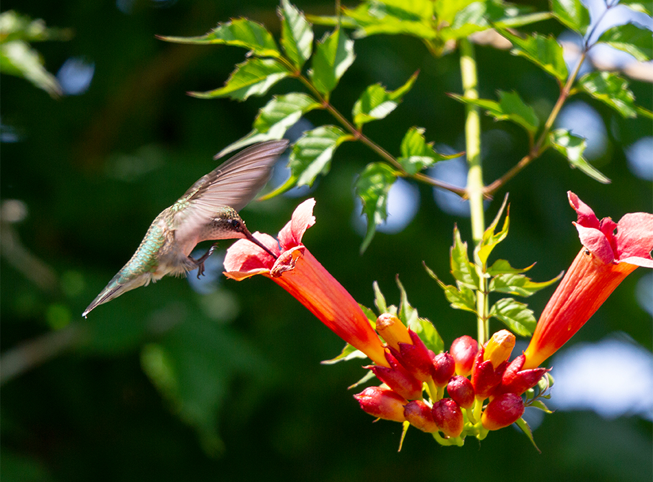 Humming Bird #2, Ottawa, Ontario