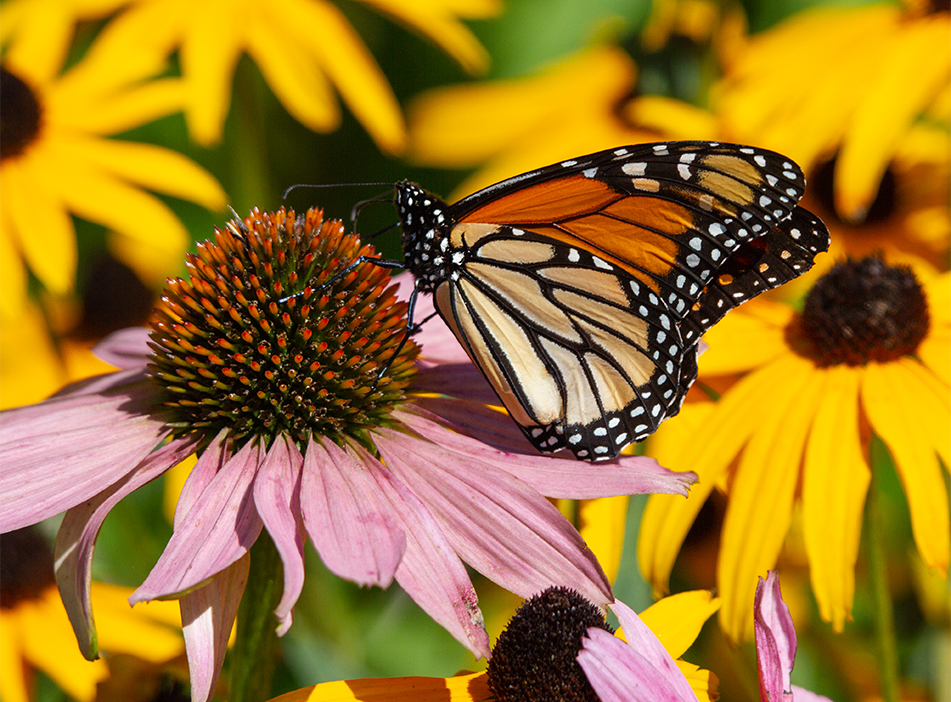 Monarch Butterfly, Ottawa, Ontario