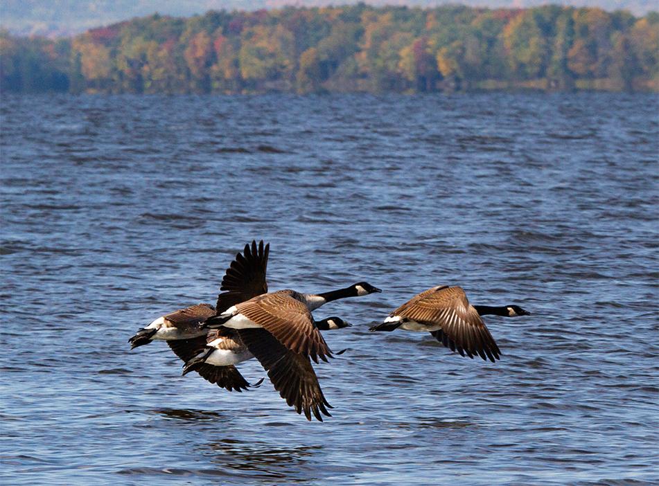 Geese on the River, Ottawa, Ontario