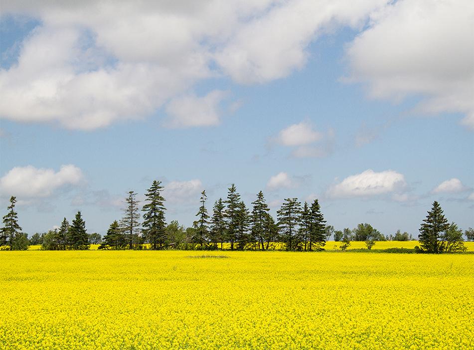 Canola Fields, PEI