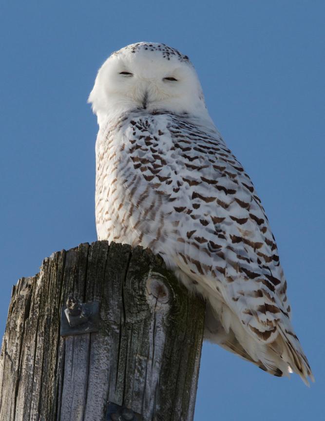 Snowy Owl, Ottawa